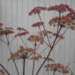 Uitgebloeide bloemschermen van de Engelwortel.